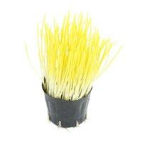 不思議な食感 やみつきペットグラス 直径8cmECOポット植え(無農薬)(1ポット) 猫草
