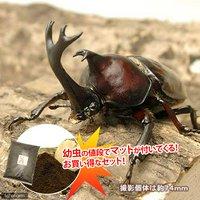 国産カブトムシ 幼虫(12匹) + XLマット カブト用 10リットル (説明書付)