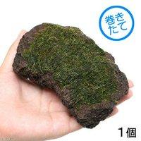 巻きたて ウィローモス 富士ノ溶岩石 Mサイズ(約10~12cm)(無農薬)(1個)