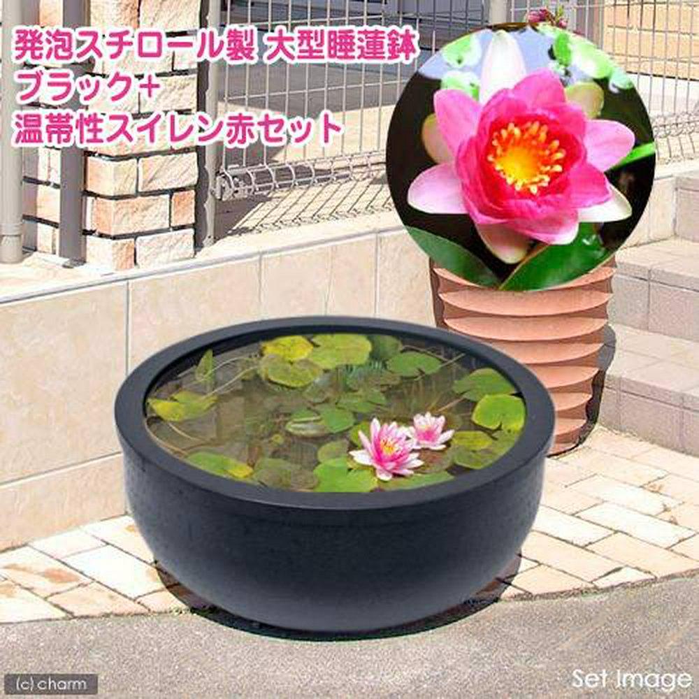 大型睡蓮鉢・超軽量タイプ ブラック+温帯性睡蓮・赤 説明書付   (休眠株)