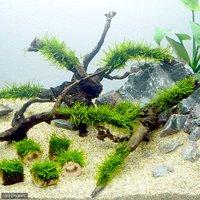 育成済 ジャイアント南米ウィローモス 枝状流木 Mサイズ(約20cm~)(無農薬)(3本)