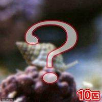 貝 おまかせムシロガイ(10匹)