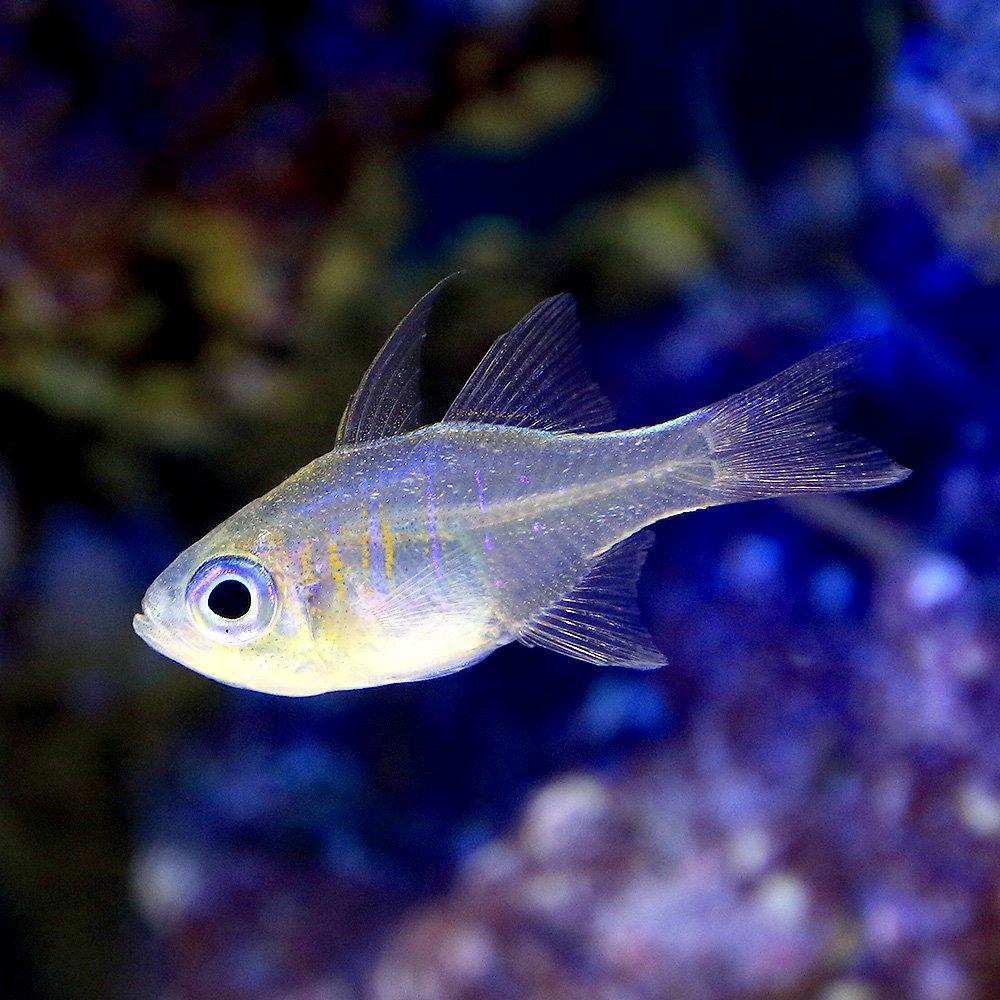 (海水魚)沖縄産 イトヒキテンジクダイ(3匹) 北海道・九州航空便要保温