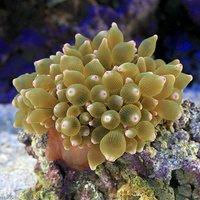 サンゴイソギンチャク グリーン&ピンクチップ MLサイズ(1匹)無脊椎動物