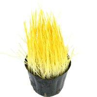 不思議な食感 やみつきイタリアンライグラス 直径8cmECOポット植え(無農薬)(3ポット) 猫草
