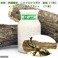 ニジイロクワガタ 幼虫(1匹) + G-pot 850cc 1本(説明書付)