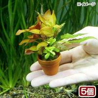 プチ素焼き鉢 寄せ植えミックス(水中葉)(無農薬)(5鉢)
