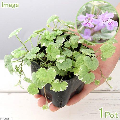 (観葉植物)ペットリーフ 斑入りカキドオシの苗 3号(無農薬)(1ポット)犬 うさぎ おやつ