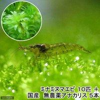 (水草)ミナミヌマエビ(10匹)+国産 無農薬アナカリス(5本)