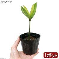盆栽 フクギ(福木) 3号(1ポット)