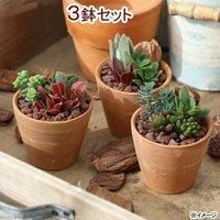 私のオアシス 多肉3種のシンプルテラコッタ寄せ植え(3鉢) 説明書付き 北海道冬季発送不可