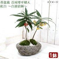 苔盆栽 百両寄せ植え 紅白 ~白溶岩鉢~(1鉢)