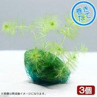 巻きたて ウトリクラリア アウレア(ノタヌキモ)ボール(無農薬)(3個)