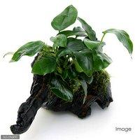 アヌビアスナナ&おまかせモス 流木付 Mサイズ(1本)(約20cm)