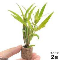 ライフマルチ(茶) ポリゴナムsp.レッド(水上葉)(無農薬)(2個)