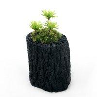 苔盆栽 炭鉢植え オオカサゴケ Sサイズ(1鉢)