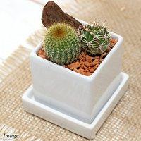 私のオアシス サボテン2種寄せ植え 陶器鉢植え ニューダイスS WH(1鉢) 受け皿付き