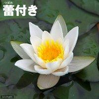 睡蓮 蕾付き 姫スイレン 白 スノープリンセス タグ付(1ポット) (休眠株)
