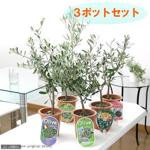 (観葉植物)果樹苗 オリーブの木(品種おまかせ) 5号(3鉢) 品種名のラベル付き 家庭菜園 沖縄別途送料