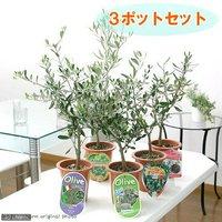 果樹苗 オリーブの木 品種おまかせ 5号(3鉢) 品種名のラベル付き 家庭菜園  北海道冬季発送不可