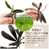 (水草)おまかせブセファランドラ(無農薬)(2種1株ずつ)+ミナミヌマエビ(10匹)