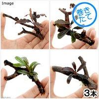 おまかせブセファランドラ1株付きミニ流木(約7cm)(無農薬)(3個)