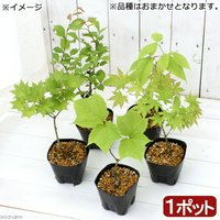 盆栽 樹木苗 品種おまかせ 2~3年生 品種表記なし(1ポット) (休眠株)