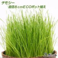 チモシー 直径8cmECOポット植え(無農薬)(3ポット) 猫草