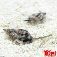 貝 リュウキュウムシロガイ 底砂とその他の掃除(10匹)