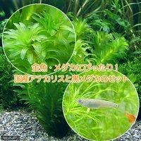 メダカ金魚藻 国産 アナカリス(無農薬)(5本)+黒メダカ(6匹)
