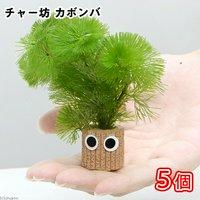 メダカ・金魚藻 チャー坊 カボンバ(5個)