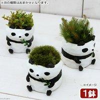 苔盆栽 リトルアニマル パンダ(1鉢)
