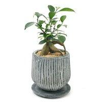 ガジュマル 陶器鉢植え ルミオラLL グレイ(1鉢)