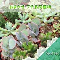 おまかせプチ多肉 3cm硬質ポット植え(5ポット)(説明書付き) 北海道冬季発送不可