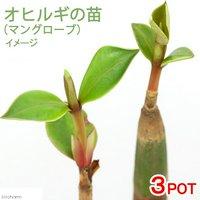 マングローブ オヒルギ(雄蛭木) 3.5~4.5号(3ポット)