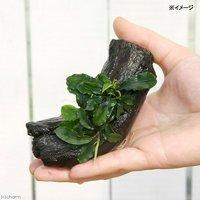 ブセファランドラ グリーンウェービー 流木付 Sサイズ(インボイス)(水上葉)(1本)(約15cm)