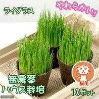 猫草 ネコちゃんの草(イタリアンライグラス) 直径8cmECOポット植え(無農薬)(10ポット) 猫草