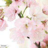 山野草盆栽 サクラ(桜) 常滑焼鉢植え 開花終了株 4号(1鉢) 受け皿付き