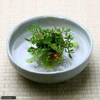 私の小さなアクアリウム ~わびさび水上葉と浮き草と益子焼のセット~