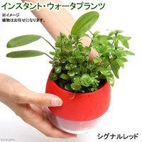 インスタントウォータプランツ(寄せ植え)(シグナルレッド)(1鉢)