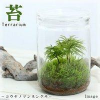 苔Terrarium コウヤノマンネングサ ガラスボトルL 説明書付