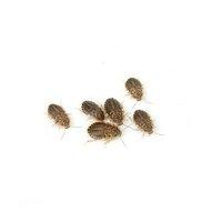 デュビア(アルゼンチンモリゴキブリ) SSサイズ 3グラム(約60匹)