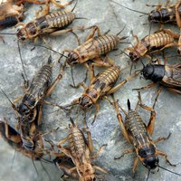 フタホシコオロギ ML 20グラム(約40匹) 爬虫類 両生類 大型魚 餌 エサ