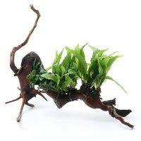 一点物 巻きたて 活着性水草 2種付 流木(450098)(1本)