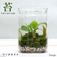 苔Terrarium ウツボカズラ ガラスボトルL 説明書付 テラリウムキット