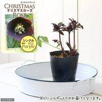 クリスマスローズ シングル(品種おまかせ) 3号(1ポット)