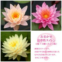 睡蓮 おまかせ温帯性品種睡蓮(スイレン) 色指定なし(1株)×3種(合計3株)