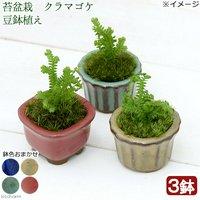 苔盆栽 クラマゴケ 豆鉢植え(3鉢)