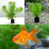 (水草)マルチリングブラック(黒)メダカ金魚藻セット+よりなし琉金 素赤~更紗(1匹)