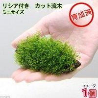 育成済 リシア付きカット流木 ミニサイズ(8cm以下)(無農薬)(1本)